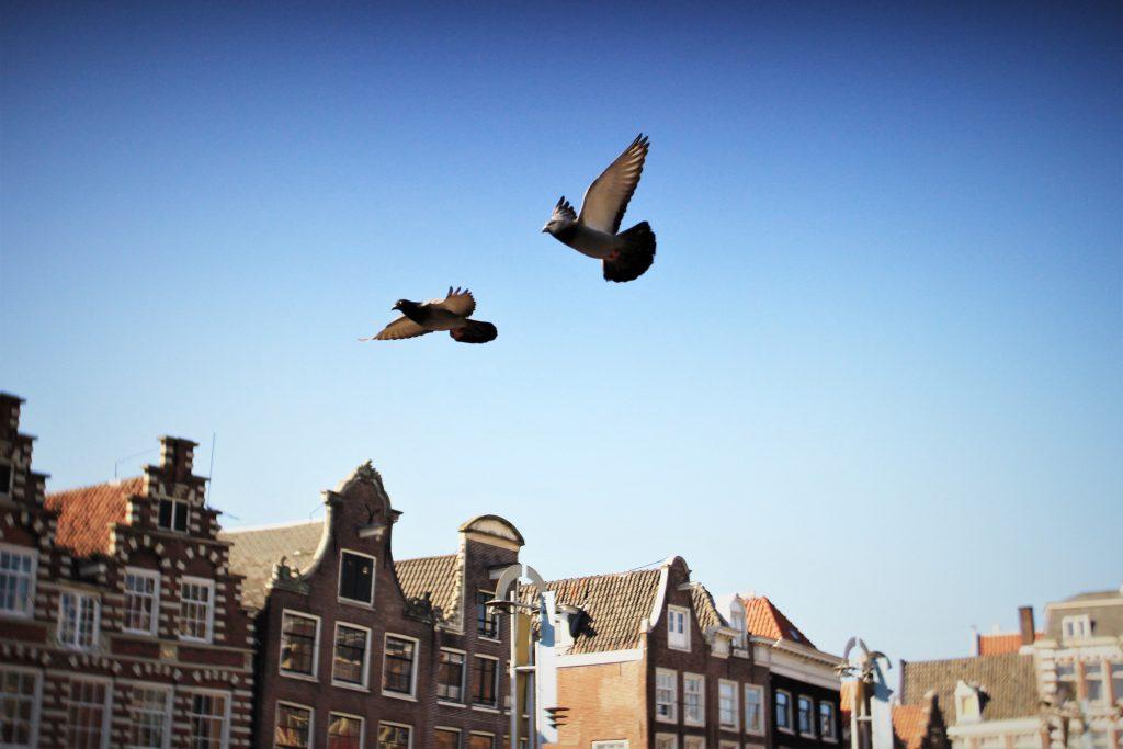 Doves flying over Amsterdam