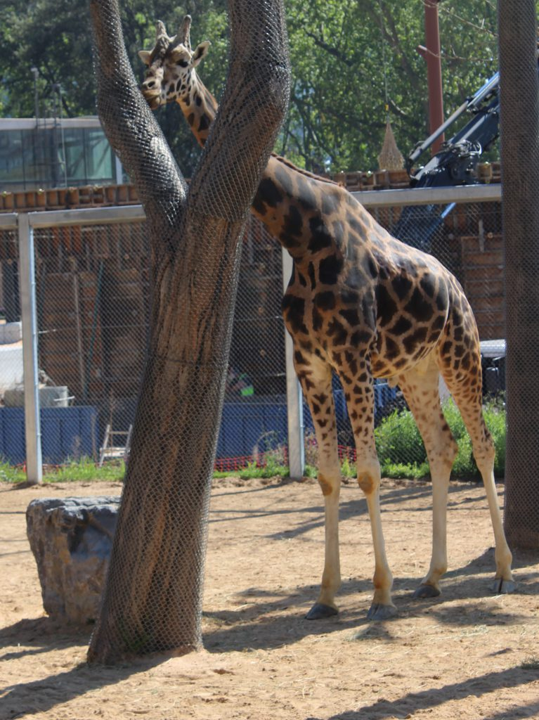 Giraffe at the zoo in Barcelona