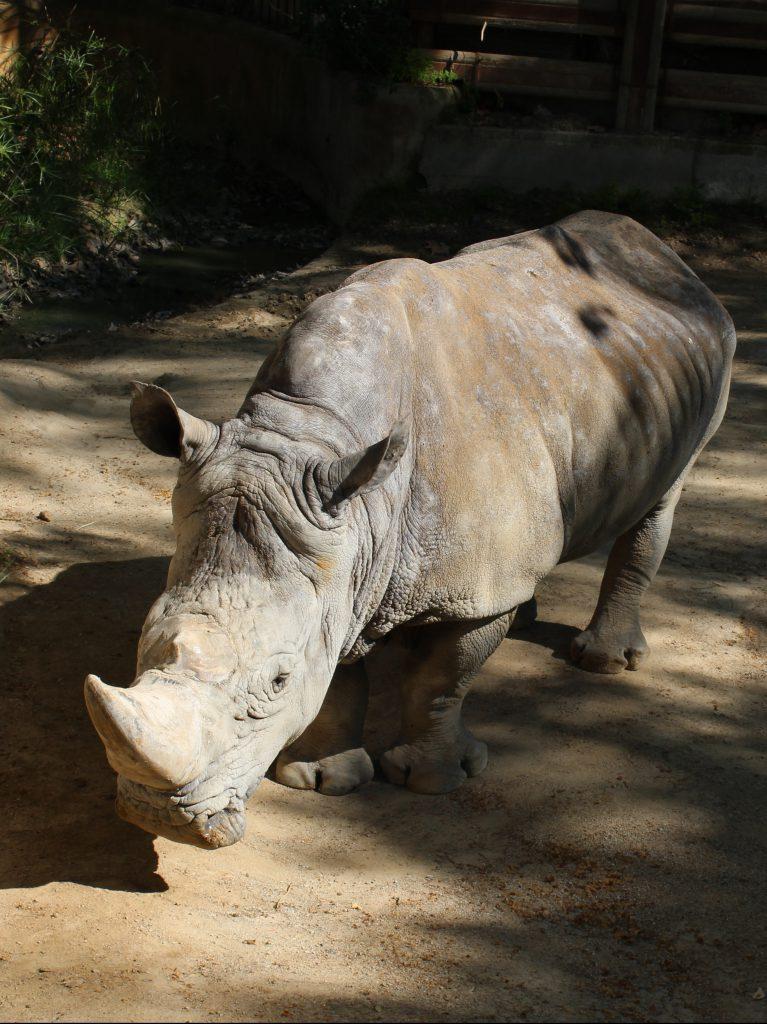 Rhino at the zoo in Barcelona