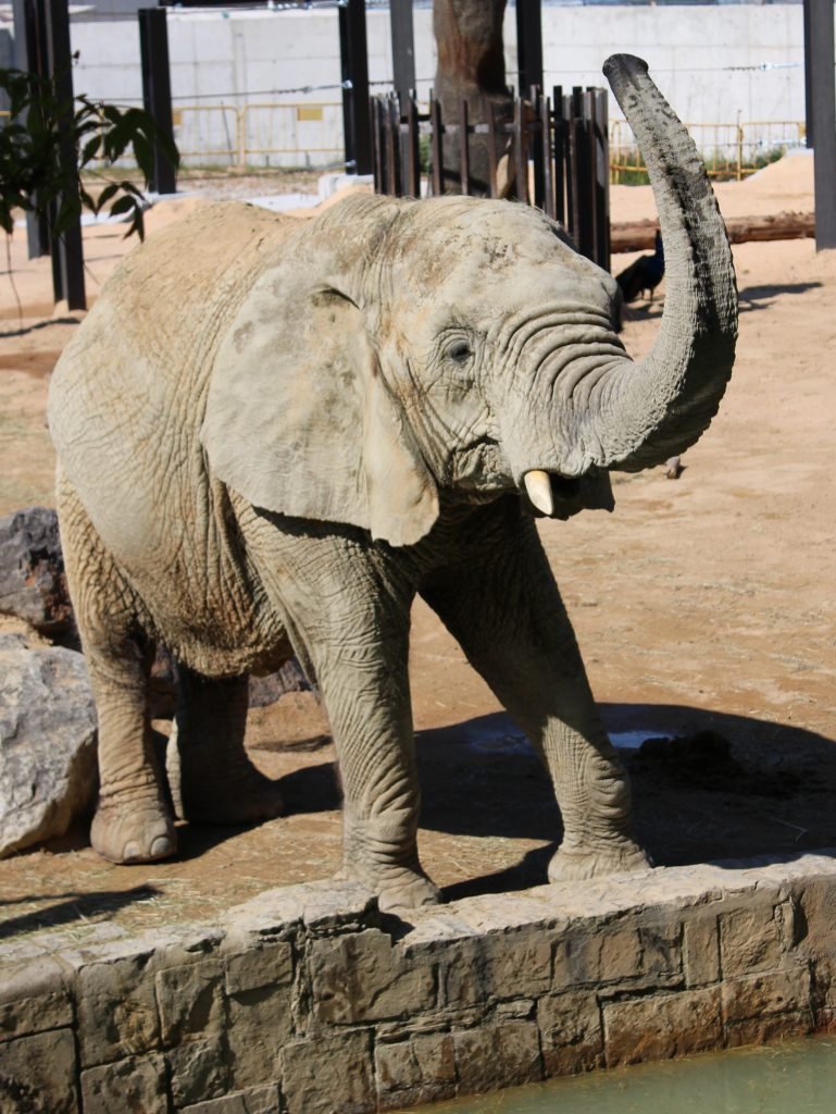 Elephant at the zoo in Barcelona